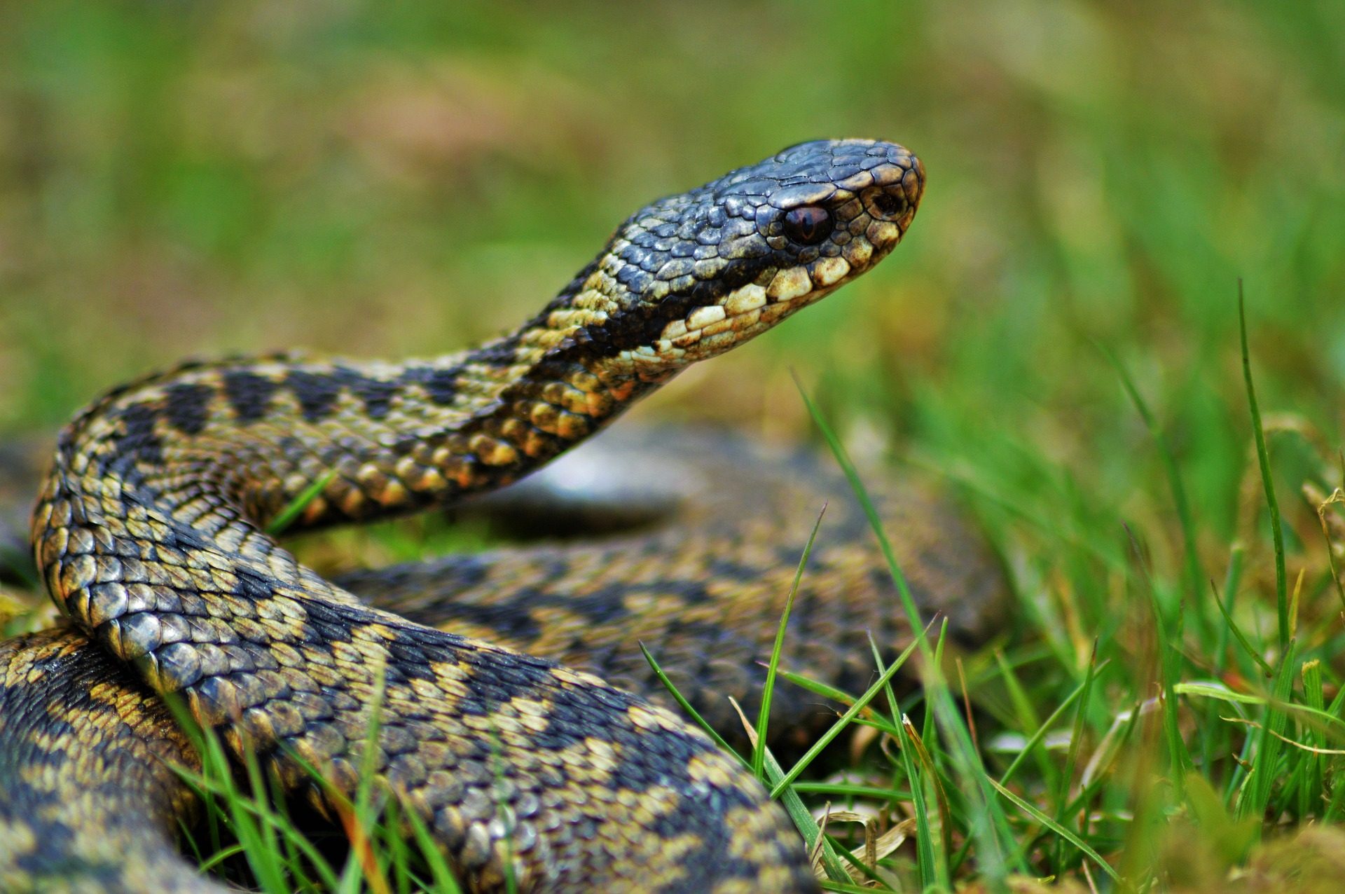 Adders, Amphibians and Reptiles