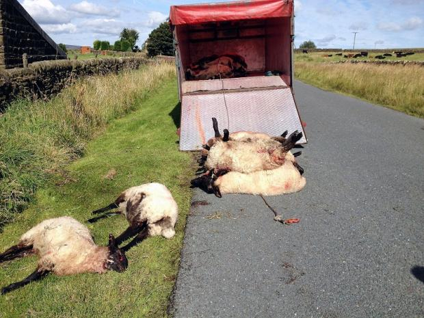 Sheep killed in attack by dogs