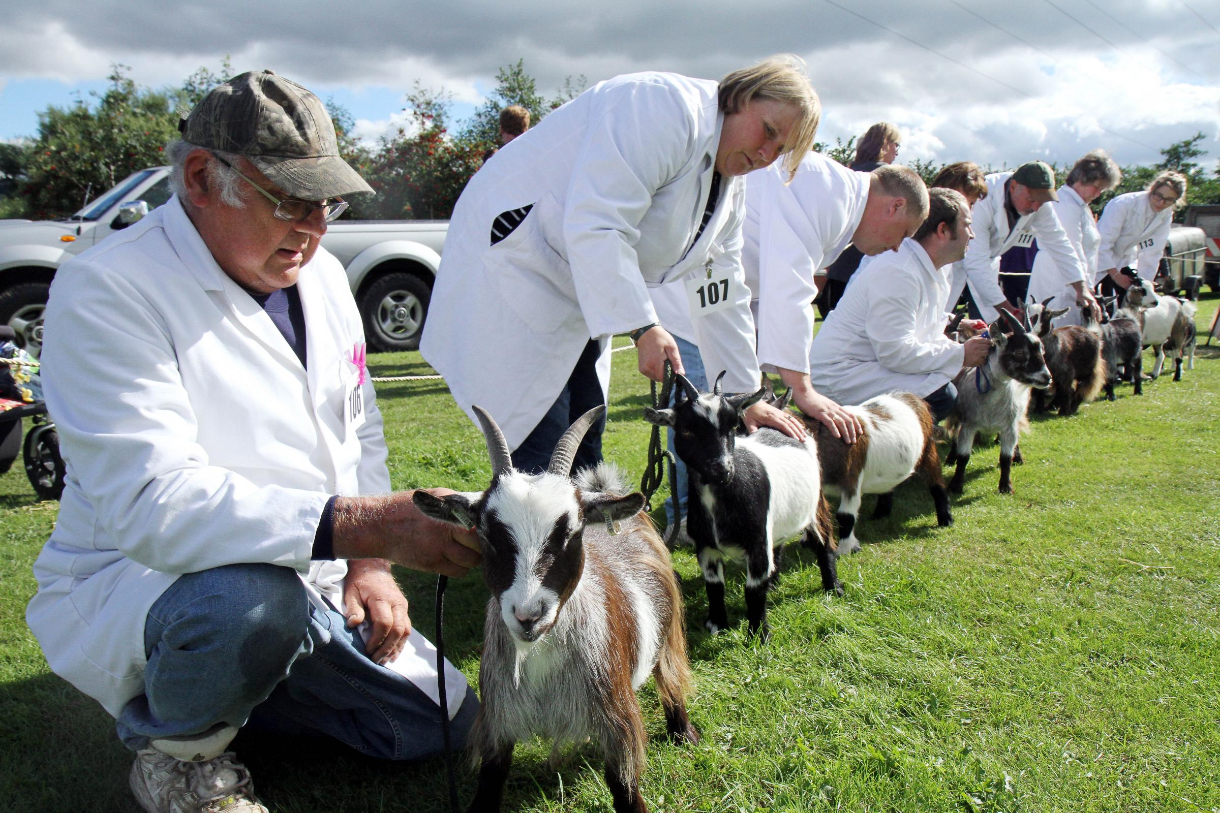 The judging of the pygmy goats at today's Keighley Show
