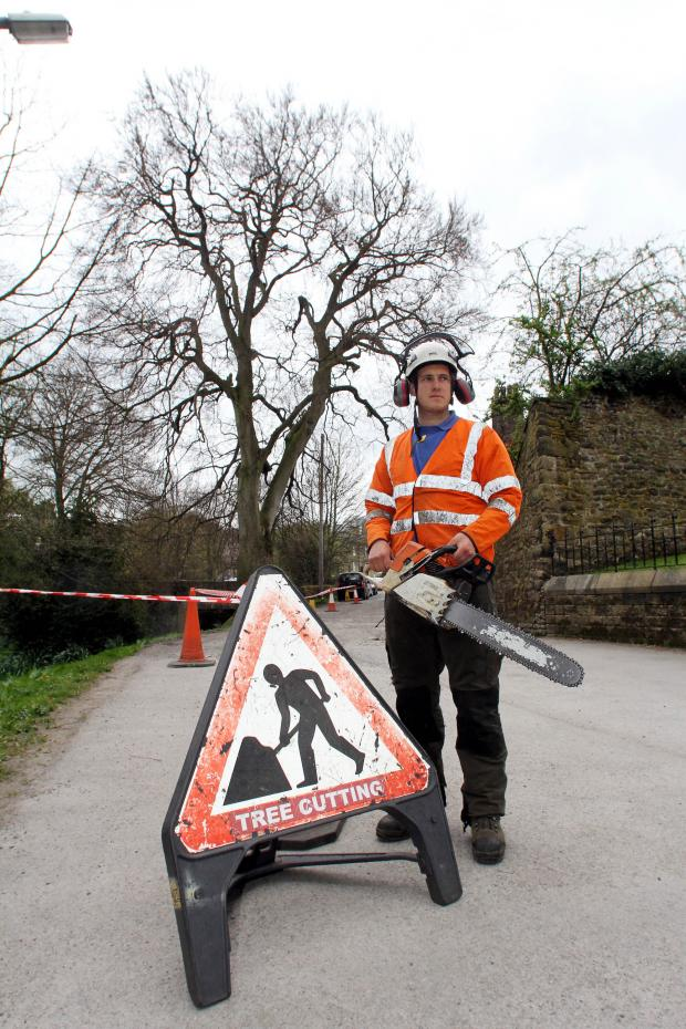 Keighley News: Thomas Walbank prepares to start work felling the beech tree, centre, in Steeton