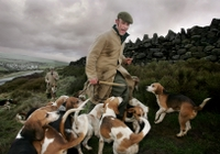 Malcolm Hawker, kennel huntsman, take the beagles out for their exercise