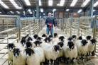 David Airey with his champion pen of Swaledale wethers (photo: Moule Media, Skipton)