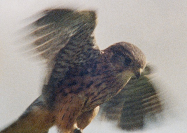 One of the birds of prey involved in the Wings of Desire film at the Brontë Parsonage Museum
