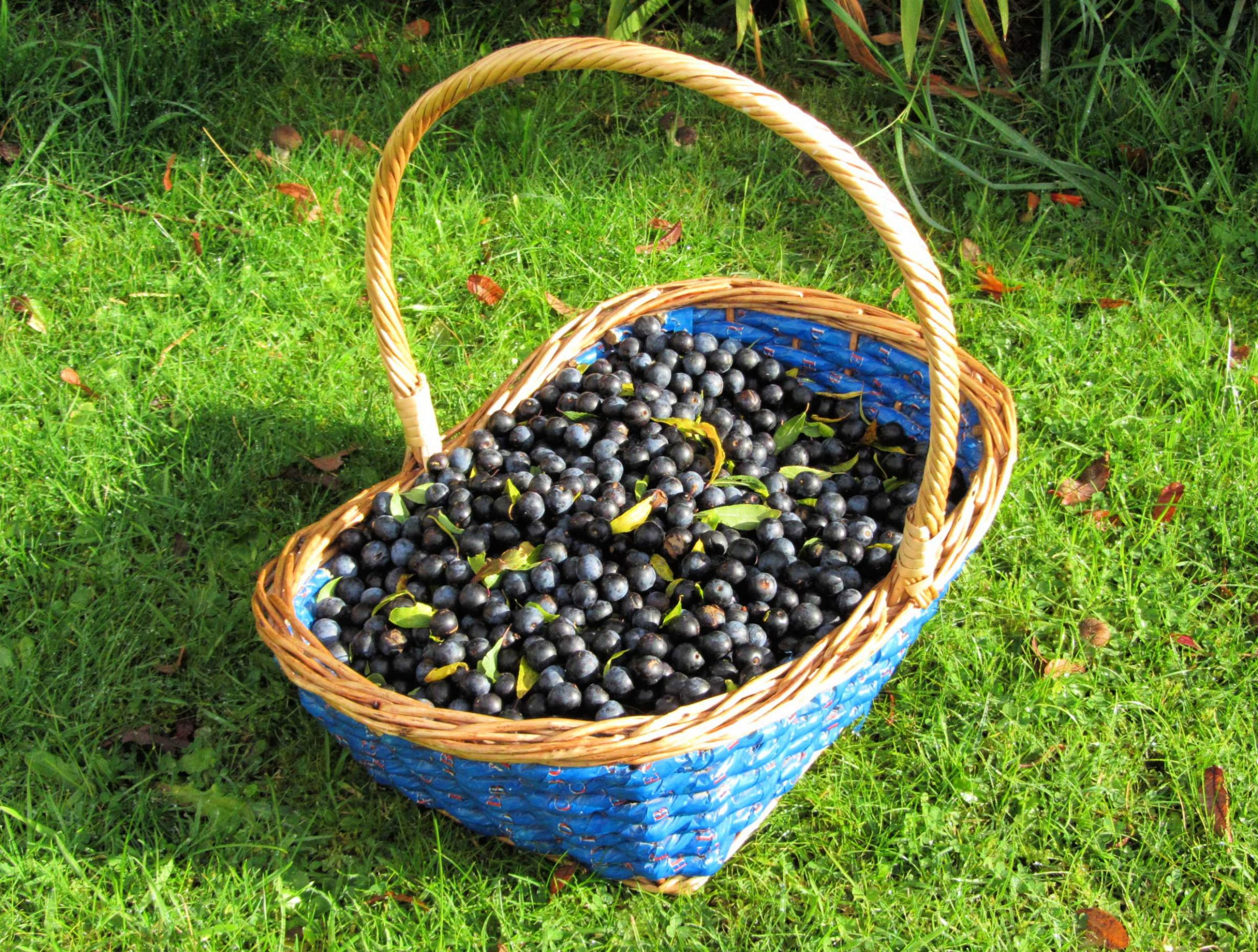 Sloes for Sloe gin